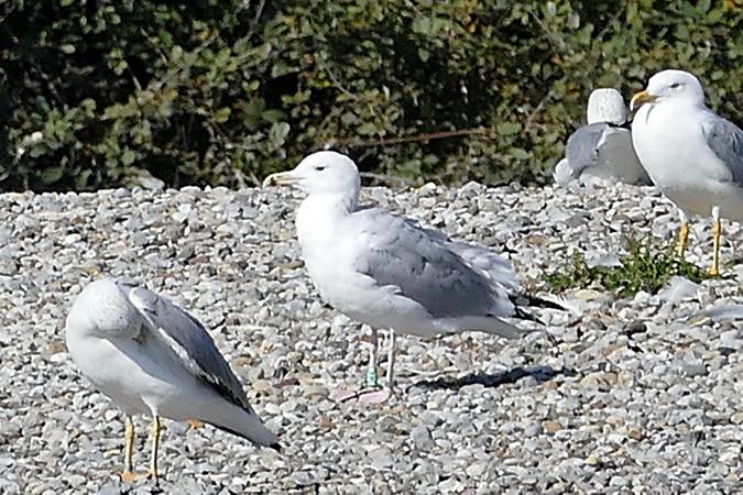 Caspian Gull  - Ernst Weiss