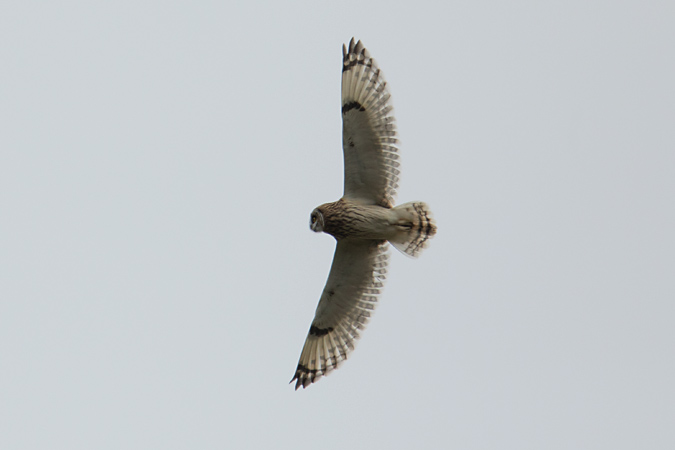 Short-eared Owl  - Stefan Wassmer