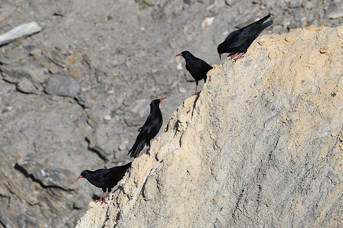 Red-billed Chough  - Maurice Perraudin