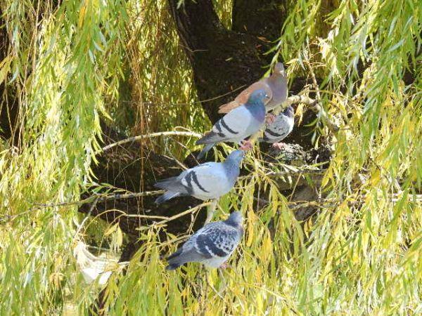 Pigeon biset domestique