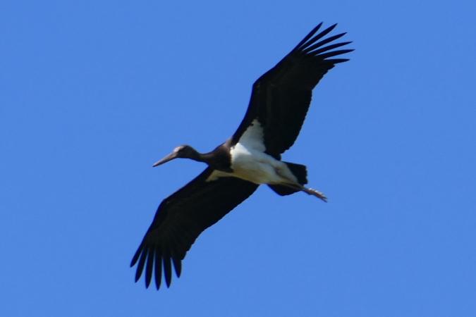 Cigogne noire  - Hubert Cattin