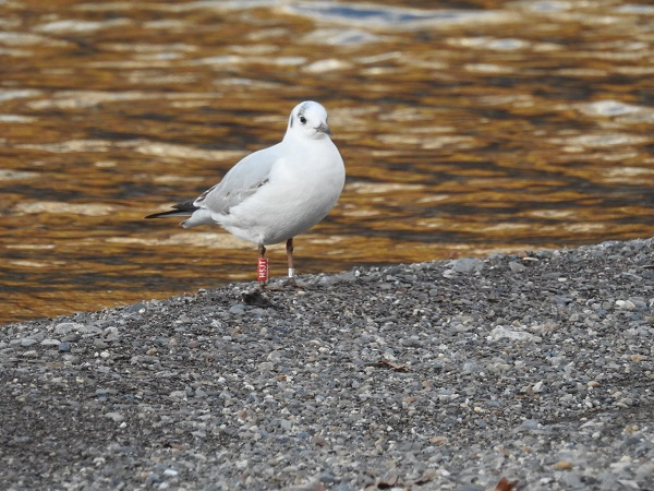 Common Black-headed Gull  - Thomas Berchtold