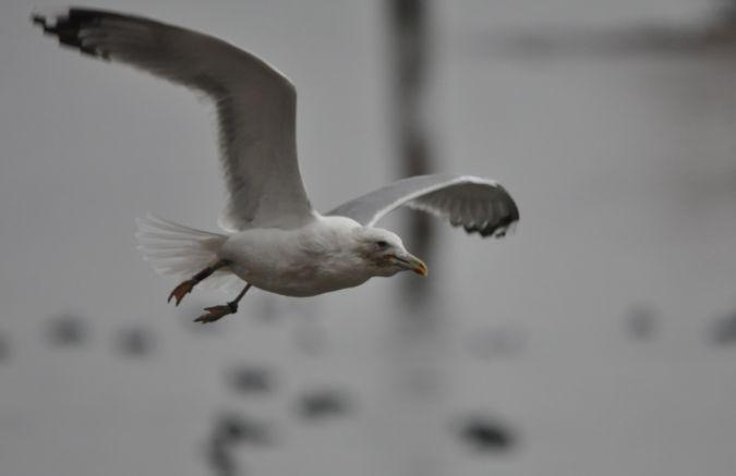Caspian Gull  - Tobias Schleusser