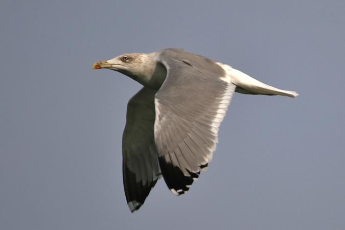 Herring Gull  - Manuel Saavedra