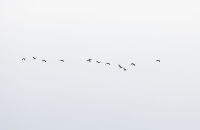 Common Crane  - Nicolas Morisset