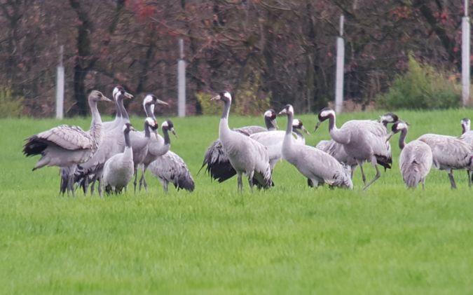 Common Crane  - Florian Klingel