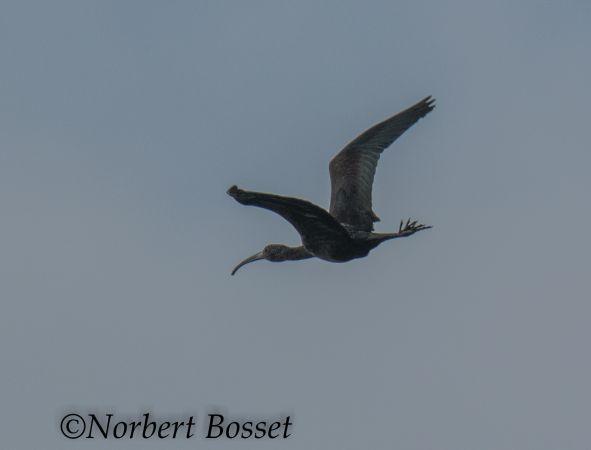 Ibis falcinelle  - Norbert Bosset