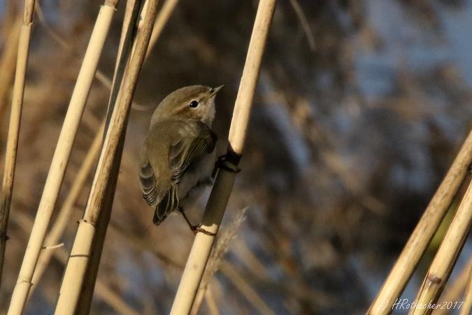 Luì piccolo (P.c.tristis)  - Heinz Rothacher