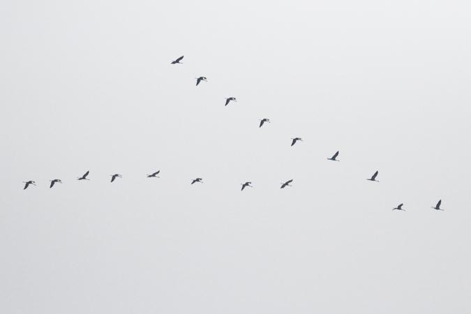 Grue cendrée  - Dominik Hagist