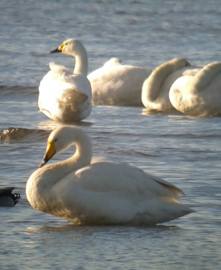 Bewick's Swan  - Andreas Weiss