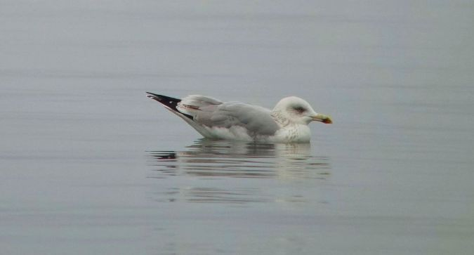 Herring Gull  - Sepp Trittenbass