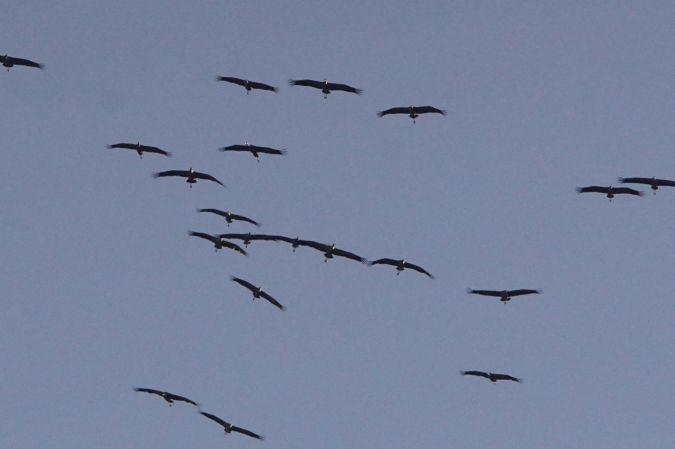 Common Crane  - Jean-Fred Zweiacker