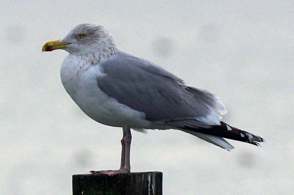 Herring Gull  - Othmar Hässig