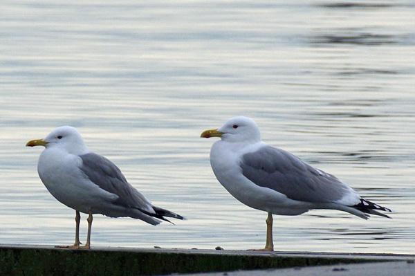 Caspian Gull  - Othmar Hässig