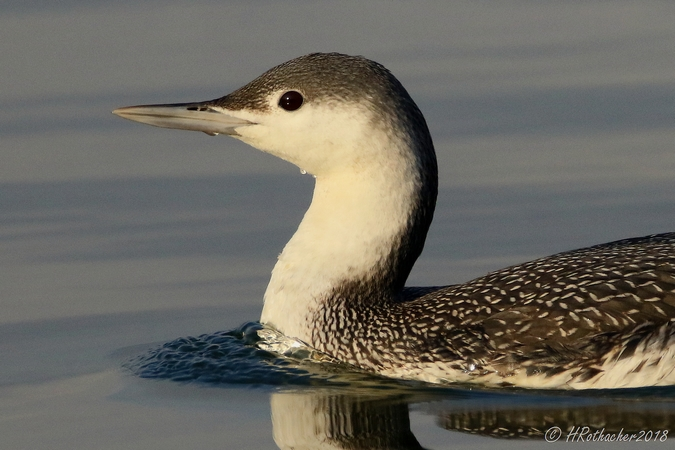 Red-throated Diver  - Heinz Rothacher
