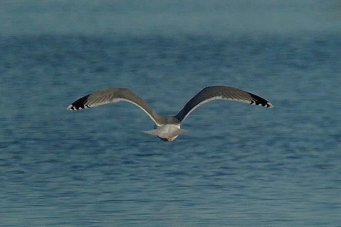 Herring Gull  - Kilian Disler