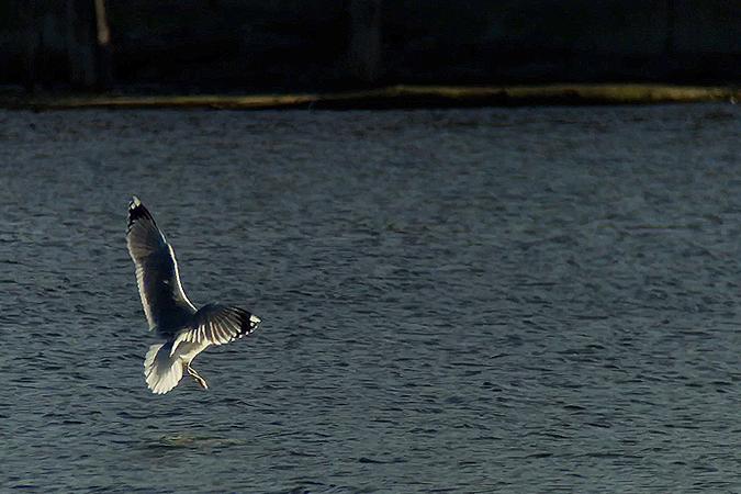 Caspian Gull  - Kilian Disler
