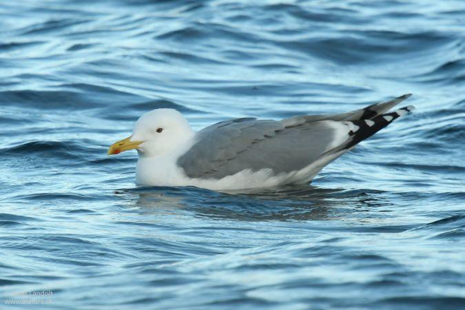 Caspian Gull  - Jonas Landolt