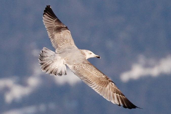 European Herring Gull  - Dominik Hagist