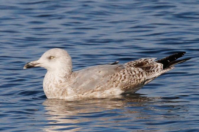 Herring Gull  - Dominik Hagist