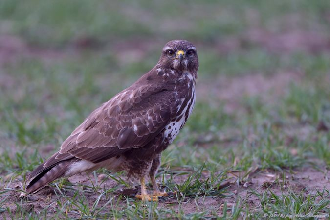 Buse variable  - Alain Chappuis