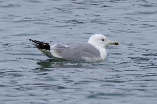 Caspian Gull  - Jean-Marc Fivat