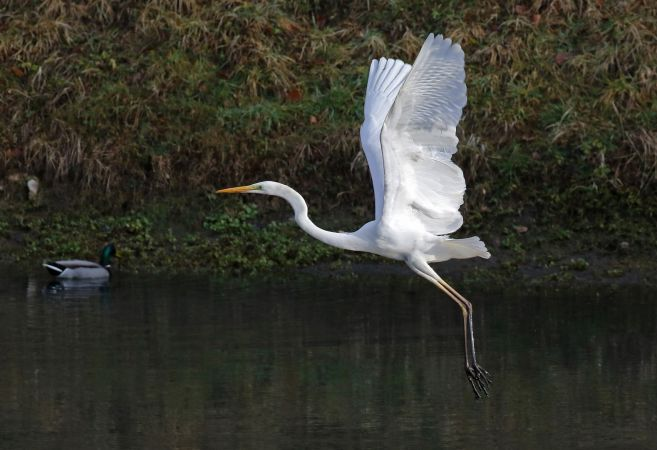 Great White Egret  - Claudia Hischenhuber