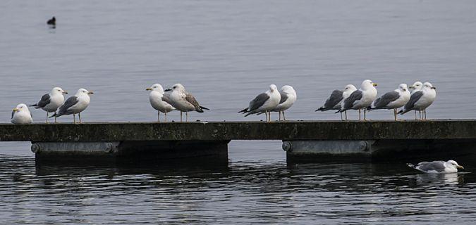 Caspian Gull  - Dieter Thommen