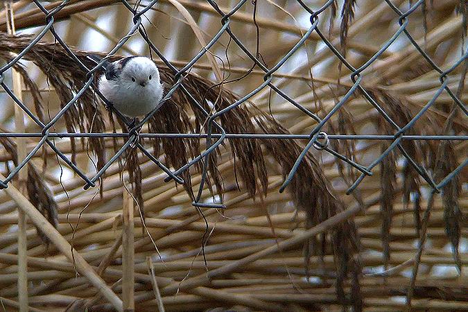 Mésange à longue queue (A.c.caudatus)  - Kilian Disler