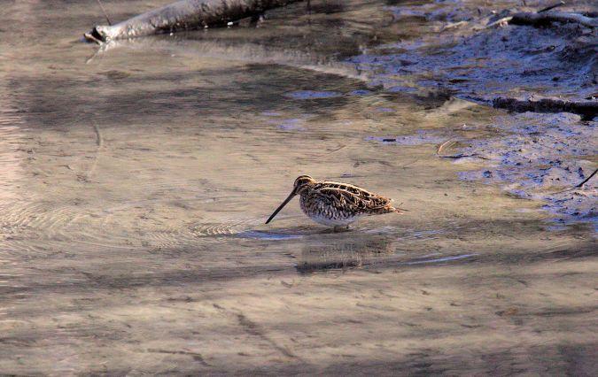 Bécassine des marais  - Bernard Mex
