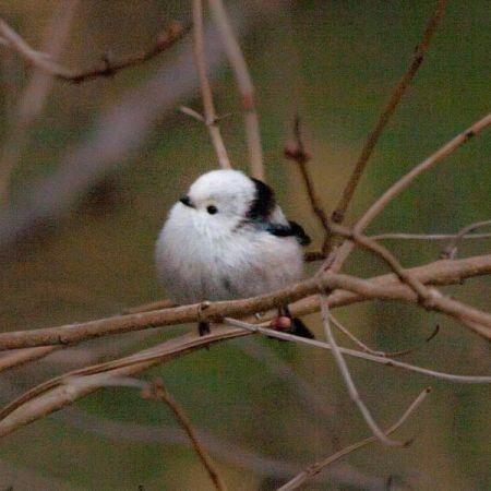 Mésange à longue queue (A.c.caudatus)  - Thomas Rubin