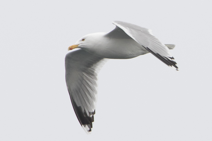 Herring Gull  - Harald Roost