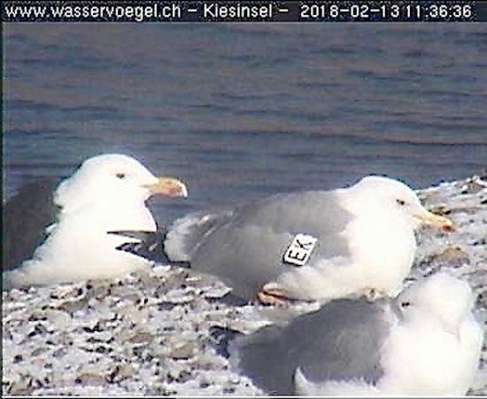 Caspian Gull  - Felix Hämmerli
