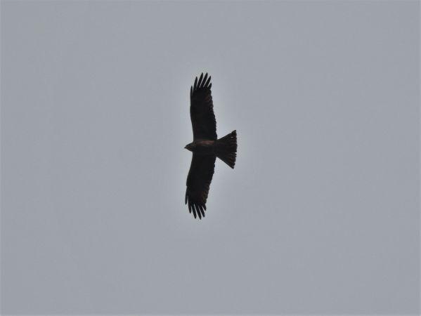 Black Kite  - Daniel Lehner