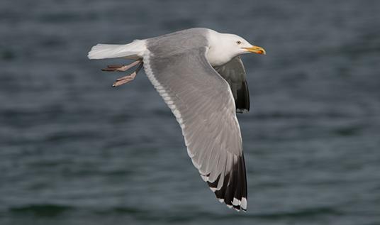 Herring Gull  - Tobias Schleusser