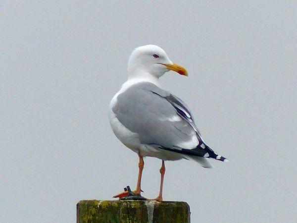Herring Gull  - Natascha Kunkel