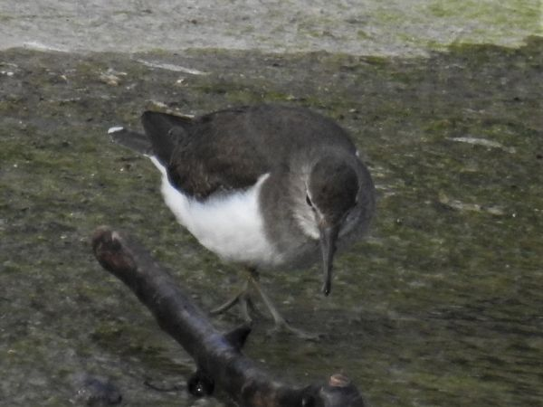 Common Sandpiper  - Jean Poget