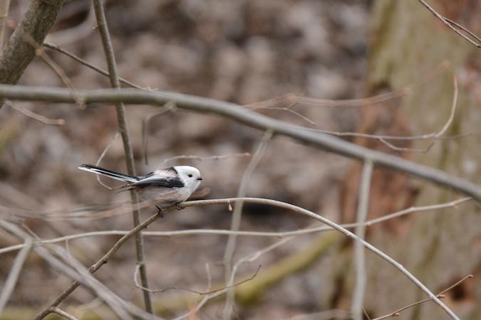White-headed Long-tailed Tit (A.c.caudatus)  - Sophie Marti