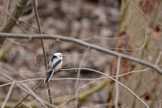 Mésange à longue queue (A.c.caudatus)  - Sophie Marti