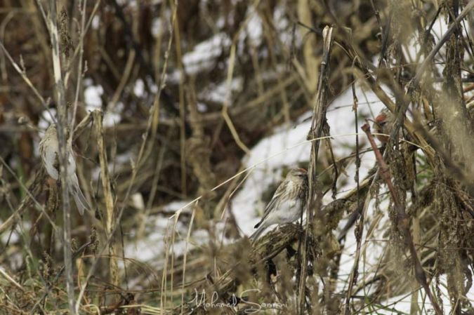 Common Redpoll  - Mohamed Somrani