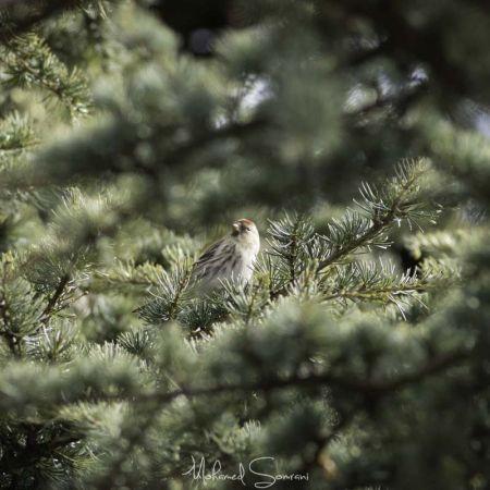 Common Redpoll  - Mohamed Somrani