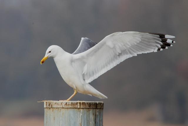 Caspian Gull  - Fritz Sigg