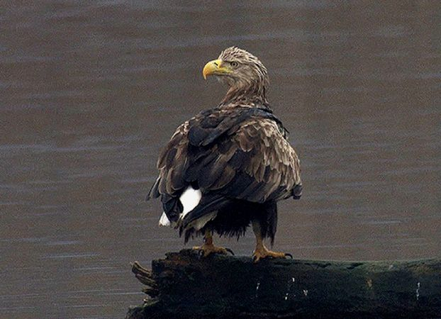 White-tailed Eagle  - Ueli Lanz