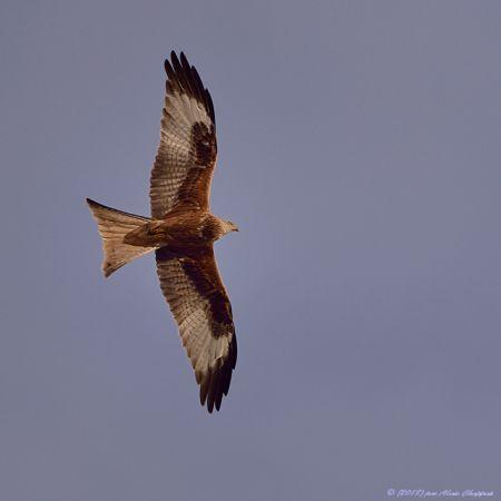 Red Kite  - Alain Chappuis