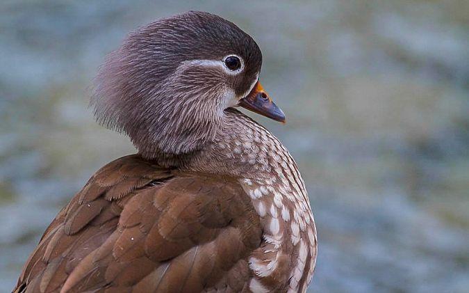 Mandarin Duck  - Willy Daeppen