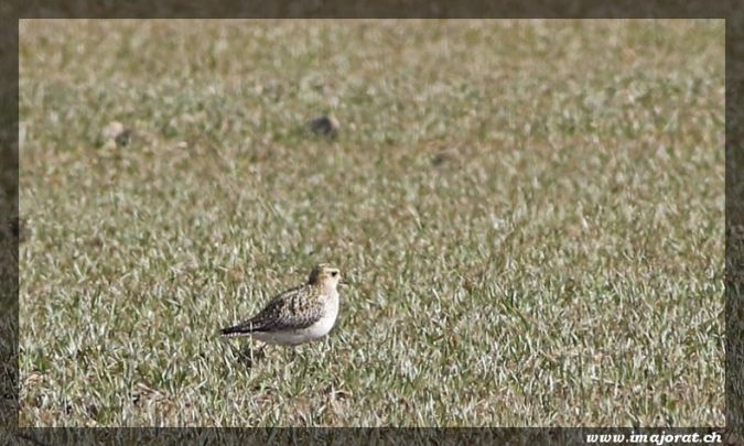 European Golden Plover  - Gérald Porchet