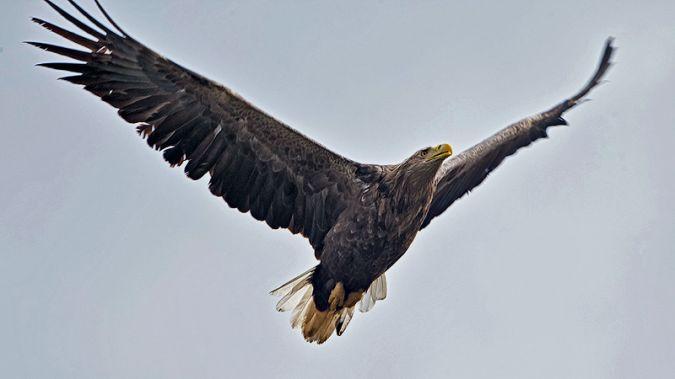 White-tailed Eagle  - Bernhard & Edith Herzog