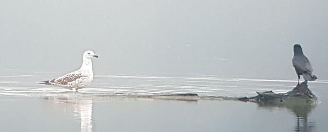Caspian Gull  - Rene Apel