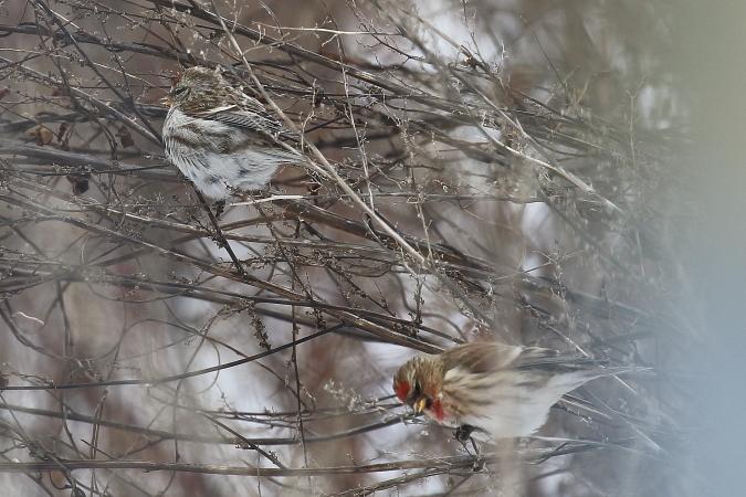 Common Redpoll  - Vasco Gonçalves-Matoso