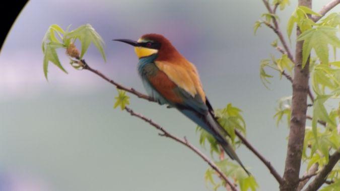 European Bee-eater  - Werner Hilfiker